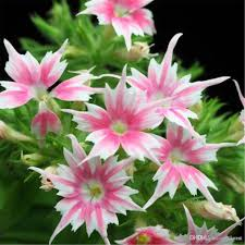 phlox le star flower seeds easy to grow from seeds colorful and vibrant lightly scented from china dhgate