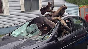 Several Crashes Involving Moose Reported In Maine In Past Week – CBS Boston
