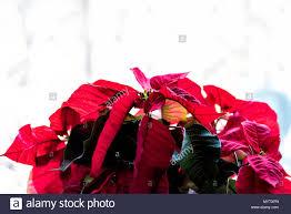 Isolierte Nahaufnahme Von Topfpflanzen Rot Weihnachtsstern