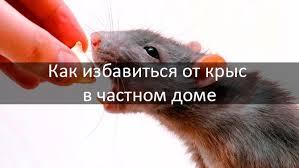 Как избавиться от <b>крыс</b> в доме: 5 эффективных средств