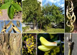 Laburnum anagyroides Medik. subsp. anagyroides - Sistema ...