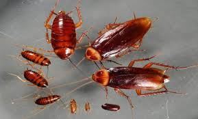 How Many Babies Does A Cockroach Have Baby Cockroach