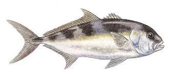 samsonfish