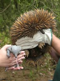 echidna puggle full grown. Delighful Grown Worldu0027s First Breeding Of ZooBorn Echidnas At Perth Zoo Throughout Echidna Puggle Full Grown H