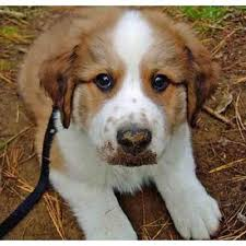 white bernese mountain dog. Wonderful Mountain Brown And White Bernese Mountain Dog Bernese Mountain Dogs Mixed Breed  All With White Dog 1