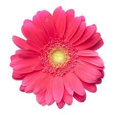 canvas on demand premium thick wrap canvas wall art print entitled pink gerbera daisy isolated on white  on gerbera daisy canvas wall art with gerbera daisy wild about flowers pinterest gerbera and flowers