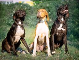 great grouse hunting dogs