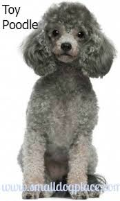 poodles small dogs good with children