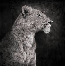 lioness black and white.  Lioness Portrait Of Lioness Against Rock Serengeti 2007 Inside Black And White G