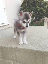 cute baby husky tumblr. Brilliant Cute Puppy Husky Intended Cute Baby Husky Tumblr