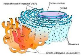 animal cell endoplasmic reticulum. Modren Reticulum The Endoplasmic Reticulum Produces Proteins Enzymes And Hormones For The  Cell To Use Smooth ER Structure Made Of Proteins Smooth Muscle Cells That  In Animal Cell L