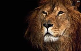 Lion wallpaper, Lion pictures ...