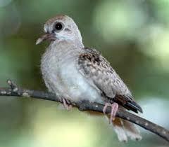 Diamond Dove Home Page Raising Diamond Doves