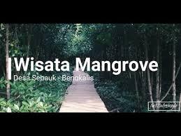 Hasil gambar untuk hutan mangrove sebauk