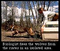 acclimate definition. biologist frees the wolves from crates in an isolated area acclimate definition