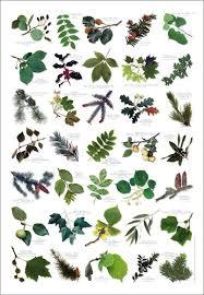 English Tree Identification Chart British Tree Leaves Identification Chart Nature Poster