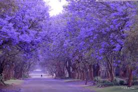 Image result for jacaranda tree