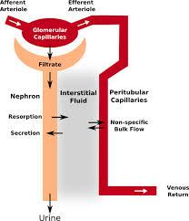 Urine Formation Mechanisms Pathway Medicine
