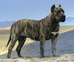 Presa Canario Weight Chart Presa Canario Dog Breed Information And Pictures