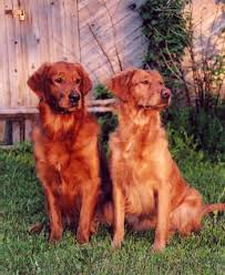 red golden retriever. Brilliant Red Our Breeding Is Exclusively Dedicated To The U201cRusticu201d Golden Retriever  Standard One Of Highest And Rigorous That Can Be Found  Intended Red Retriever E