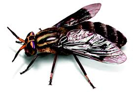 Small Black Flies In Kitchen Deer Flies How To Identify Get Rid Of Deer Fly Problems
