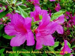 Azalea Size Chart Azalea Purple Formosa Size 1