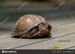Box Turtle Terrapene Carolina In The Woodlands Of Northern