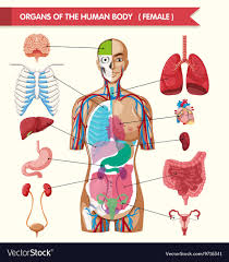 Organs In The Human Body Organs Of The Human Body Diagram
