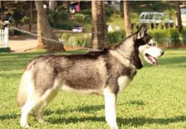 siberian husky male for stud mating pune swargate light box