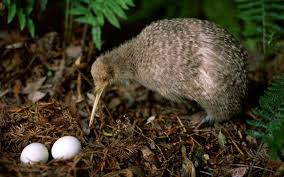 Image result for kiwi birds