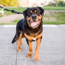 bernese mountain dog mix. Delighful Mix Image May Contain Dog Outdoor And Nature With Bernese Mountain Dog Mix O