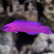 Dottyback Compatibility Chart Sw Orchid Dottyback Captive Bred
