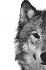 wolf face black and white. Fine Black Photography Black And White Animal Portrait With Wolf Face Black And White E