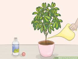 Where Can I Buy A Money Tree Awesome How To Care For A Money Tree ...