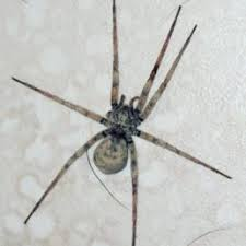 Spider Identification Chart California Spiders In California Species Pictures
