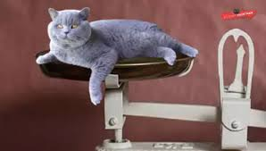 Average Kitten Weight By Age Chart British Shorthair Weight By Age Full Guide