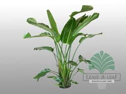 lease a leaf indoor plants