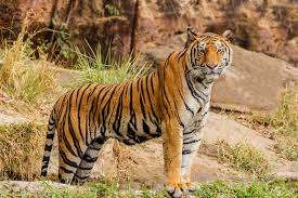 images of tigers. Simple Tigers The Surprising Ways Tigers Benefit Farmers And Livestock Owners With Images Of I