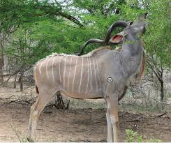Small Picture African Animal of the Week Kudu