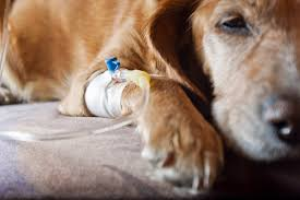 miscarriage in dogs