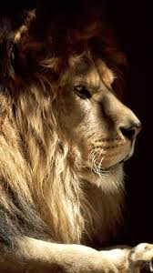 lion wallpaper iphone 6.  Iphone Male Lion IPhone 6 Wallpaper Intended Lion Iphone