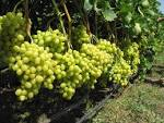 Для винограда фото