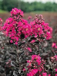 Crape Myrtle Flowering Trees | Black Diamond – Plant Me Green