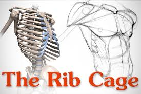 The ribs are a set of twelve paired bones which form the protective 'cage' of the thorax. Anatomy Of The Rib Cage Proko