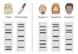 dna profiling bioninja example 2 paternal testing