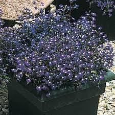 Купить <b>семена</b> цветов <b>Лобелия ампельная</b>. Фото, цена семян ...