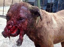 mean pitbull dogs fighting. Beautiful Mean Dogcrueltystopanimalcruelty Intended Mean Pitbull Dogs Fighting A