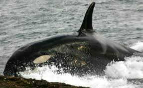 killer whales eating dolphins. Reasons Killer Whales Are Evil Geniuses For Eating Dolphins