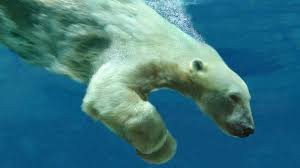 BBC - Earth - Polar bear breaks diving record