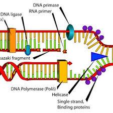 2 The Process Of Dna Replication Download Scientific Diagram